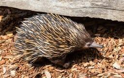 Echidna ein einzigartiges Tier nur gefunden in Australien lizenzfreie stockfotos