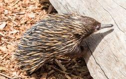 Echidna ein einzigartiges Tier nur gefunden in Australien lizenzfreies stockbild