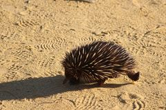 Echidna in the evening sun walking trough the Pinnacles desert, Western Australia stock photography