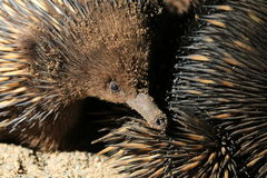 Echidna Face Stock Photos