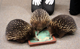 Echidna feeding, Australia Stock Photography