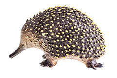 Echidna figurine Royalty Free Stock Photo