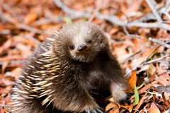 Echidna in forest in Tasmania Stock Photo