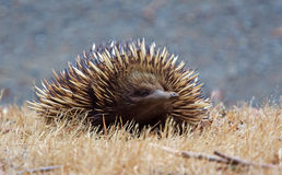 Echidna front. A curious australian echidna front view Royalty Free Stock Photos