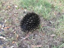 Echidna in grass Royalty Free Stock Images