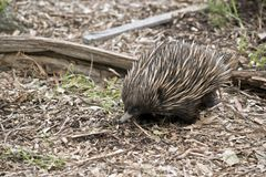 Echnida. The echidna has sharp spines it uses for defence stock photo