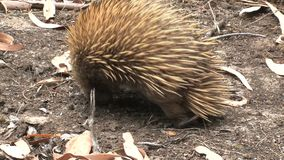 Echidna het seraching voor voedsel bij het Kangoeroeeiland, Australië stock footage