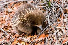 Echidna im Wald in Tasmanien lizenzfreie stockbilder