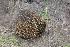 Echidna in its natural environment Stock Photo