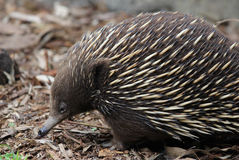 Echidna Royalty Free Stock Photos