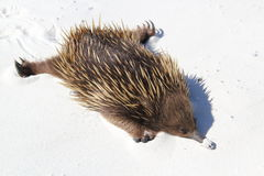 Echidna laying on sand. This image shows a Echidna laying flat on sand Royalty Free Stock Photos