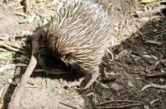 Echidna. The echidna is looking for ants in the ground Stock Image
