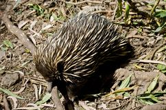 Echidna. The echidna is looking for ants in the ground Stock Photography
