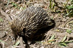 Echidna. The echidna is looking for ants in the ground Stock Images