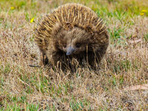 Echidna. Looking for small invertebrates in Tasman Peninsula, Tasmania, Australia stock photos