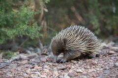 Echidna, Monotreme, Mammal, Domesticated Hedgehog Stock Photos