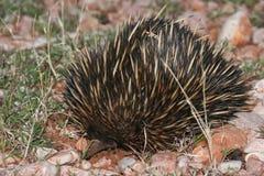 Echidna na Czerwonym piasku w odludziu Australia Obraz Stock