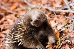 Echidna na floresta em Tasmânia foto de stock