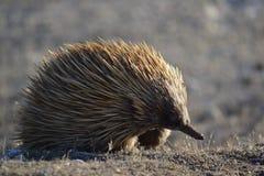 Echidna op Kangoeroeeiland royalty-vrije stock foto's