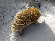 Echidna på stranden Royaltyfria Bilder