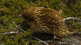 Echidna on the prowl Stock Images