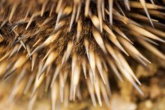 Echidna Quills Royalty Free Stock Image