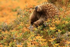 Echidna Scratching Itself Stock Images