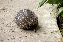 Echidna. The echidna is searching for ants Stock Image