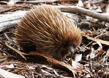 Echidna searching for food Stock Photos