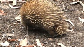 Echidna seraching dla jedzenia przy kangur wyspą, Australia zbiory