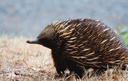 Echidna side. An austrailan echidna side profile Stock Image
