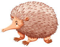 Echidna Stock Photo
