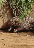Echidna Stock Images