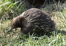 Echidna. Or spiny anteater in Tasmania, Australia Stock Image