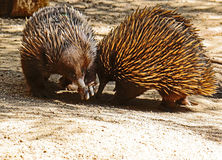 Echidna. Two spiked marsupials greeting each other Royalty Free Stock Photos