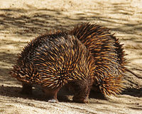 Echidna. Two spiked marsupials greeting each other Royalty Free Stock Photography