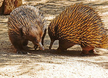 Echidna. Two spiked marsupials greeting each other Stock Image