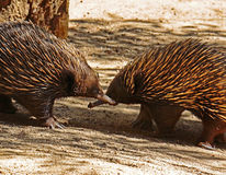 Echidna. Two spiked marsupials greeting each other Royalty Free Stock Image