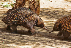 Echidna. Two spiked marsupials greeting each other Royalty Free Stock Photo