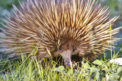 Echidna. An unusual monitreme, thus echidna was foraging in the bush of Kangaroo Island Stock Images