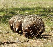 Echidnas on the march Stock Images