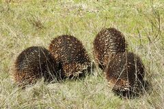 Echidnas on the march Royalty Free Stock Images