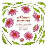 Echinace purpurea vector Royalty Free Stock Photography