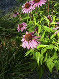 Echinacea στην άνθιση σε ένα πάρκο στοκ εικόνες