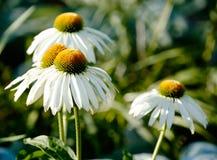 echinacea Стоковые Изображения