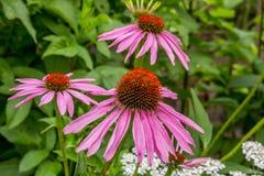 Echinacea Immagine Stock