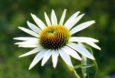 Echinacea Image stock