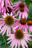 Echinacea. Flower in herbal garden Stock Photos