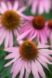 Echinacea. Flower in herbal garden stock images