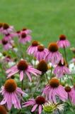 Echinacea Stock Fotografie